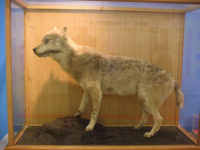 Honshu-Wolf im Ueno Zoo