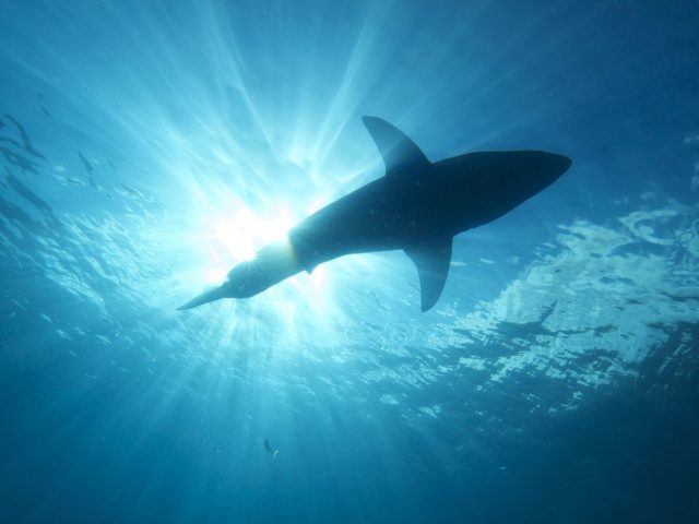 Weißer Hai