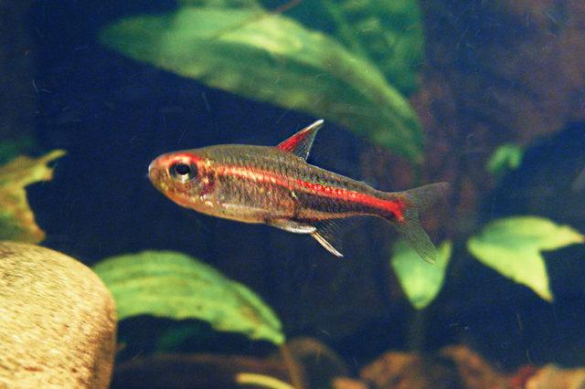 Hemigrammus erythrozonus, ein kleiner Fisch mit orangefarbenem Leuchtstreifen