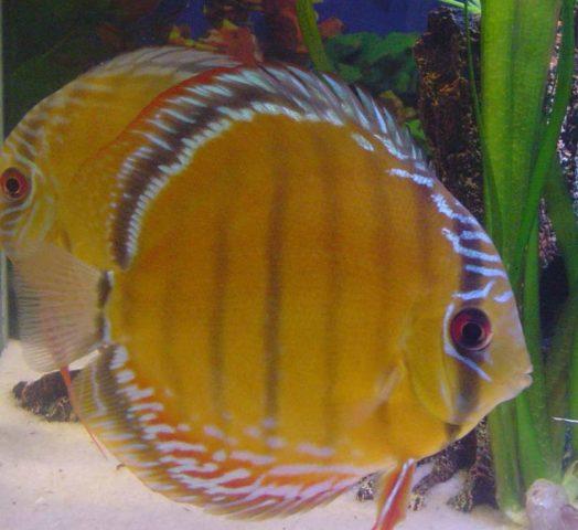 Diskus: Die Fische, die bis heute Höchstpreise erzielen