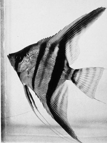 Skalar, so sahen die Fische 1921 aus, heute gibt es diese Form immer noch
