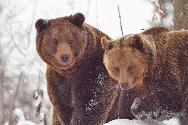 Zwei Alpenbraunbären im Schnee