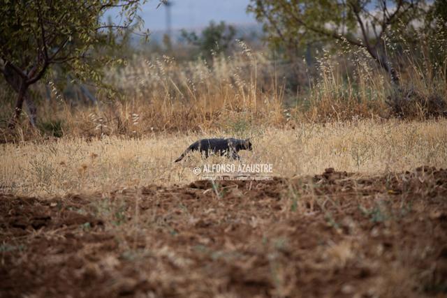 Alfonso Azaustre's Panther