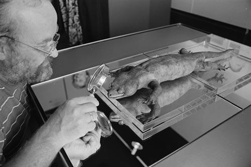 Wim Spiekman betrachtet Hoplodactylus delcourti