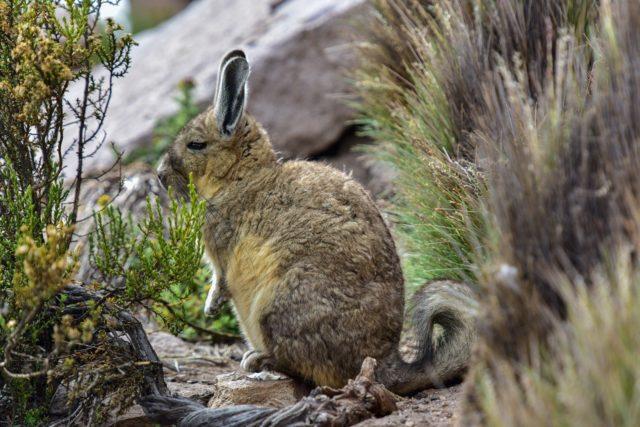 Kein Schneemensch, sondern nur ein Viscacha