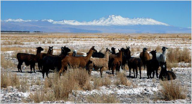 Llamas in Chile, Begleiter eines Wildmenschen?