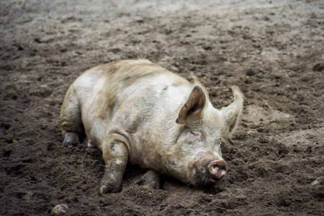 Schwein im Schlamm