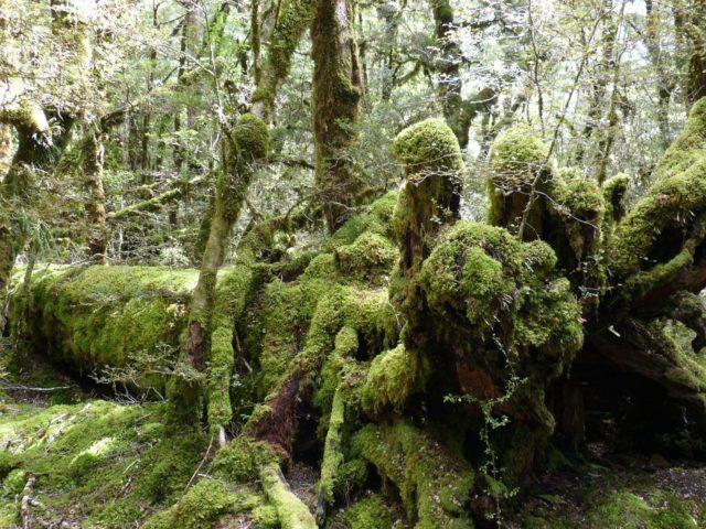 Regenwald Neuseelands, Heimat von Hoplodactylus delcourti