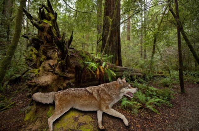 Dire-Wolf im Wald