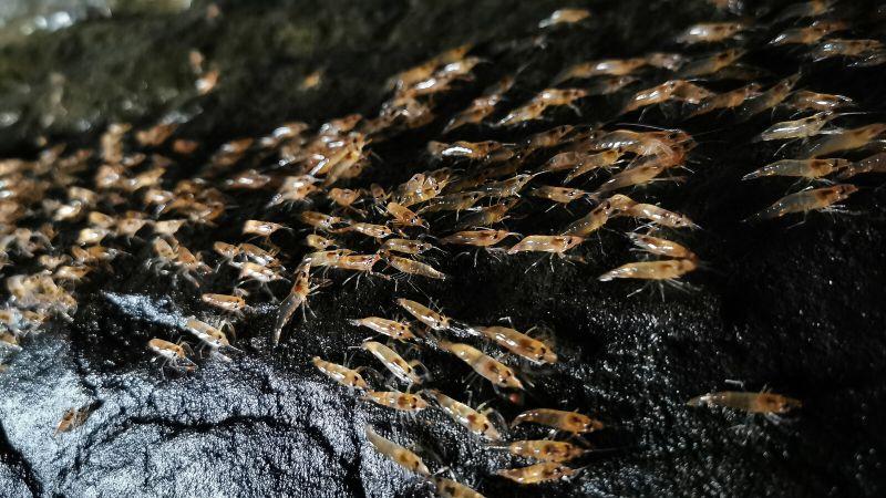 Shrimps an Land