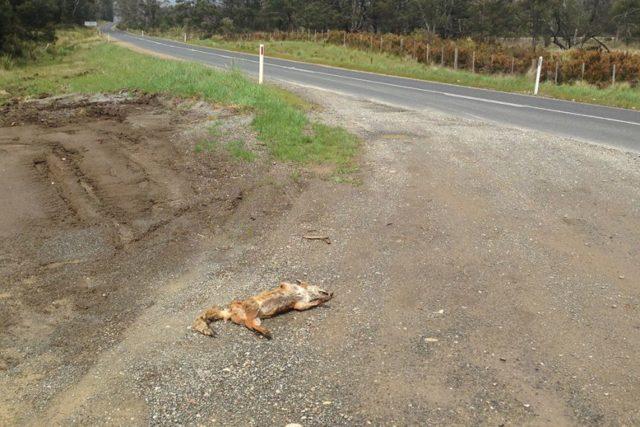 Toter Fuchs an einer Straße, der letzte tasmanischer Füchse?
