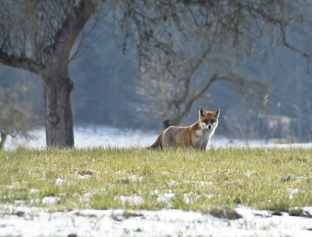 Füchse gehören zu den durchsetzungsfähigsten Räubern