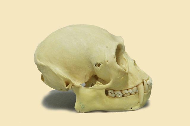 Gibbon-Schädel