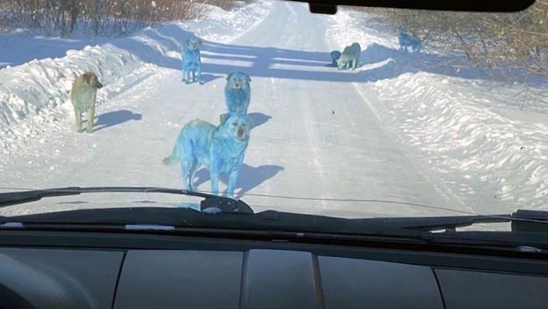 Blaue Hunde