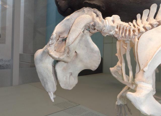 Schädel eines Dugongs Rosenstein