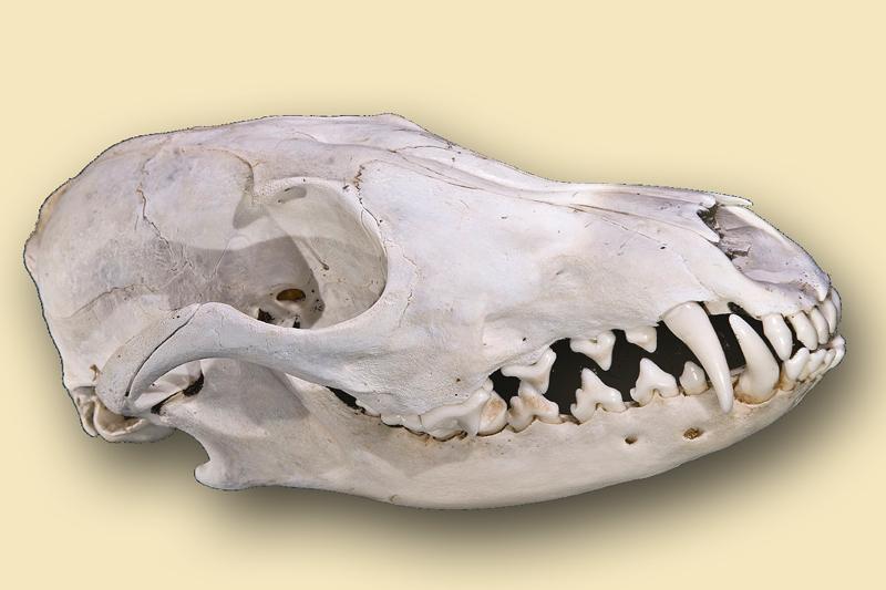Schädel Rotfuchs