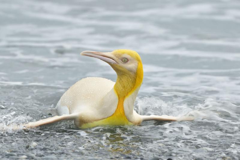 Gelber Königspinguin