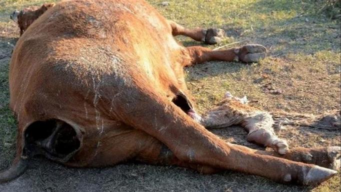 Tote Kuh mit Aasfresserspuren