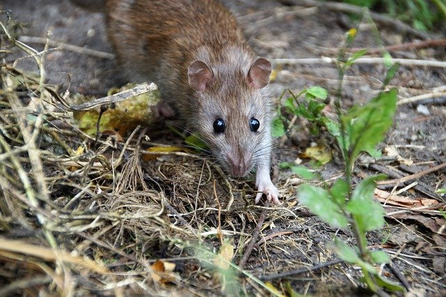 Wanderratte Rattus norvegicus
