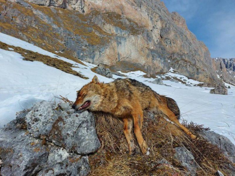 toter Goldschakal in den südtiroler Alpen