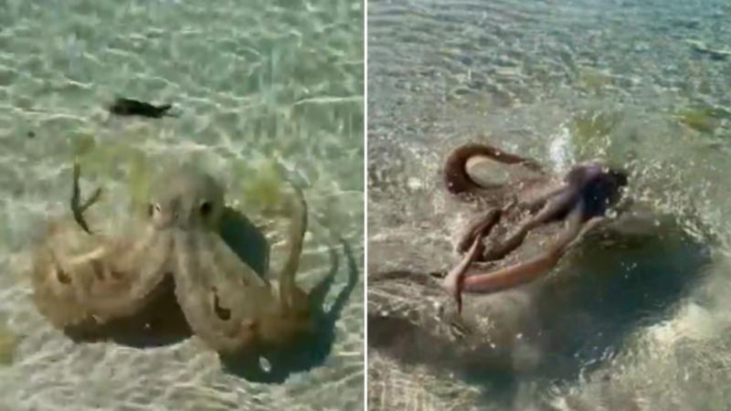 Oktopus greift an