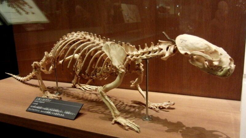 Skelett des Japanischen Fischotters