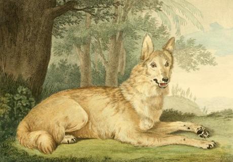 Shaw's Wolfbild