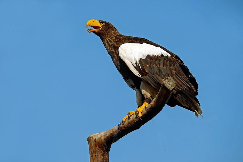 Ist der Riesenseeadler der Thunderbird