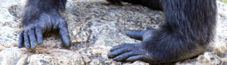 Füße eines Schimpansen, auch die Füße des Kikomba?