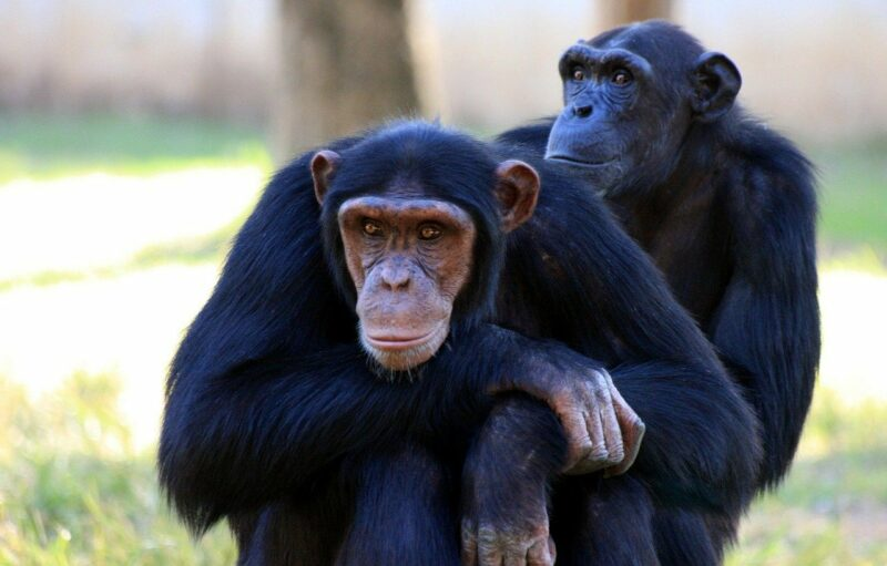 Schimpansen sind die kleinsten Menschenaffen