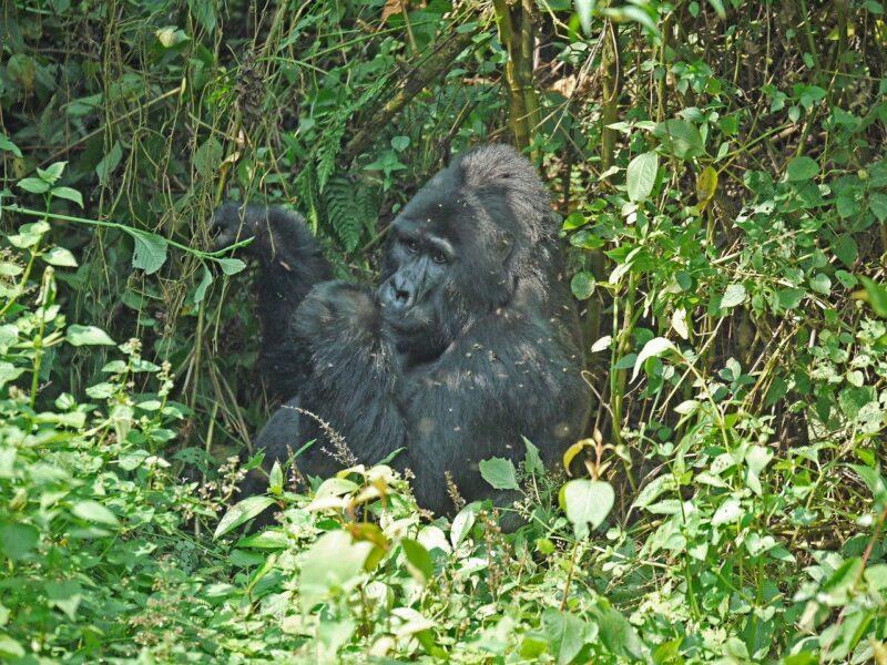 Gorilla, ist er der Kikomba?